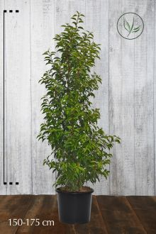 Portugese Laurier Pot 150-175 cm Extra kwaliteit