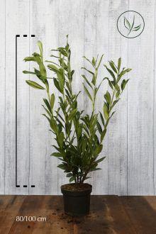 Laurier 'Caucasica'  Pot 80-100 cm