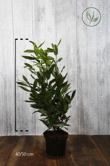Laurier 'Herbergii'  Pot 40-50 cm