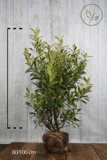 Laurier 'Herbergii'  Kluit 80-100 cm Extra kwaliteit