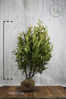 Laurier 'Herbergii'  Kluit 100-125 cm Extra kwaliteit