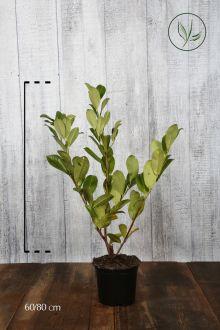Laurier 'Rotundifolia'  Pot 60-80 cm