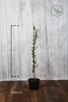 Vuurdoorn 'Golden Charmer' Pot 60-80 cm