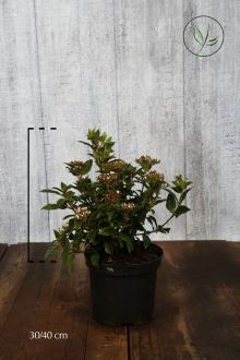 Sneeuwbal Pot 30-40 cm