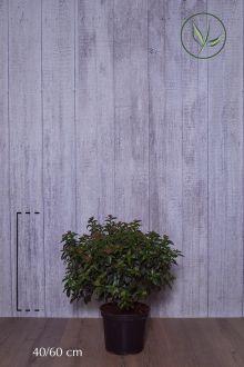 Sneeuwbal Pot 40-60 cm