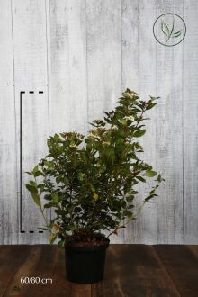 Sneeuwbal Pot 60-80 cm