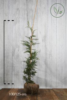 Leylandii conifeer Kluit 100-125 cm