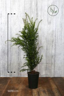 Taxus baccata Pot 60-80 cm