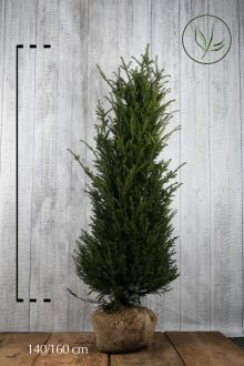 Taxus baccata Kluit 140-160 cm Extra kwaliteit