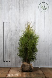 Westerse Levensboom 'Brabant' Kluit 80-100 cm Extra kwaliteit