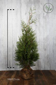 Westerse Levensboom 'Brabant' Kluit 100-125 cm Extra kwaliteit