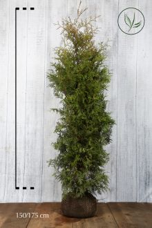 Westerse Levensboom 'Brabant' Kluit 150-175 cm Extra kwaliteit