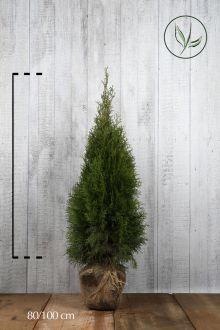 Westerse Levensboom 'Smaragd' Kluit 80-100 cm Extra kwaliteit