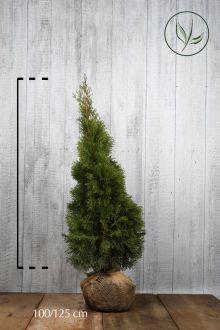 Westerse Levensboom 'Smaragd' Kluit 100-125 cm Extra kwaliteit