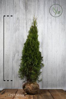 Westerse Levensboom 'Smaragd' Kluit 125-150 cm Extra kwaliteit