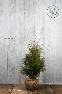 Westerse Levensboom 'Brabant' Kluit 60-80 cm Extra kwaliteit
