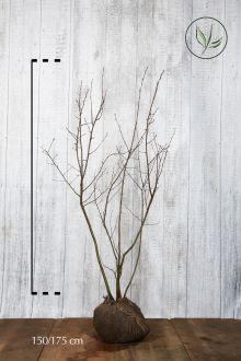 Krentenboom Kluit 150-175 cm