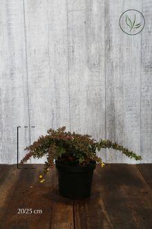 Berberis verruculosa Pot 20-25 cm