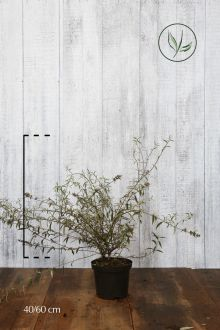 Vlinderstruik 'Nanho Blue'  Pot 40-60 cm
