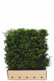 Taxus baccata Kant-en-klaar Hagen 80 cm Kant-en-klaar Hagen