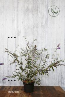 Vlinderstruik 'Nanho Blue'  Pot 60-80 cm