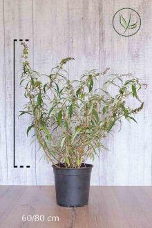 Vlinderstruik 'White Profusion'  Pot 60-80 cm