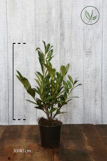 Laurier 'Caucasica'  Pot 30-40 cm