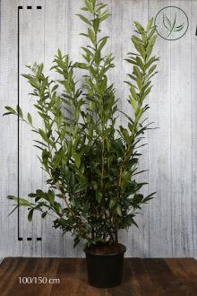 Laurier 'Caucasica'  Pot 125-150 cm