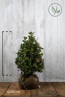 Sneeuwbal Kluit 60-80 cm