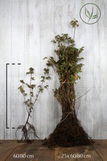 Veldesdoorn of Spaanse Aak Blote wortel 60-80 cm