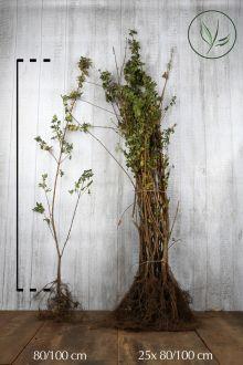 Veldesdoorn of Spaanse Aak Blote wortel 80-100 cm Extra kwaliteit