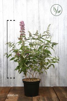 Vlinderstruik 'Pink Delight' Pot 60-80 cm Extra kwaliteit