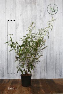 Vlinderstruik 'White Profusion'  Pot 60-80 cm Extra kwaliteit