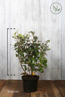 Olijfwilg, Zilverbes Pot 50-60 cm