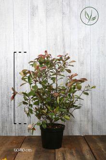 Glansmispel 'Red Robin' Pot 60-80 cm Extra kwaliteit
