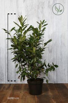Laurier 'Herbergii'  Pot 60-80 cm Extra kwaliteit