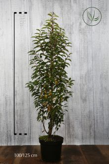 Portugese Laurier Pot 100-125 cm Extra kwaliteit