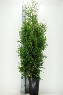 Westerse Levensboom 'Brabant' Pot 100-125 cm Extra kwaliteit