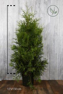 Westerse Levensboom 'Brabant' Pot 125-150 cm Extra kwaliteit
