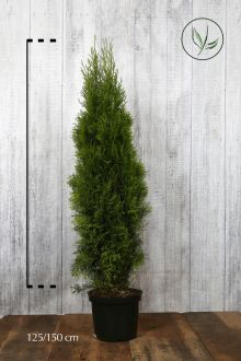 Westerse Levensboom 'Smaragd' Pot 125-150 cm Extra kwaliteit