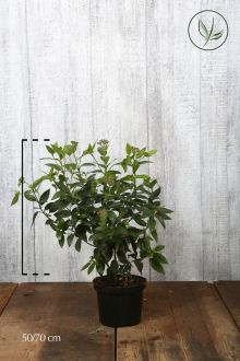 Sneeuwbal Pot 50-70 cm