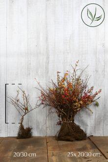 Zuurbes Blote wortel 20-30 cm