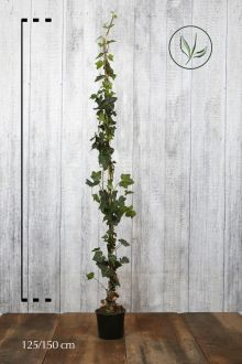 Ierse klimop Pot 125-150 cm