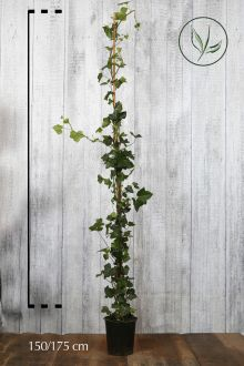 Ierse klimop Pot 150-175 cm