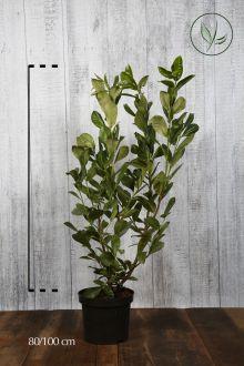 Laurier 'Rotundifolia'  Pot 80-100 cm