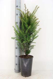 Taxus baccata Pot 50-60 cm Extra kwaliteit