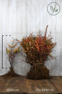 Zuurbes Blote wortel 30-40 cm