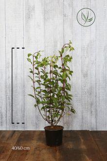 Pluimhortensia 'Vanille Fraise' Pot 40-60 cm Extra kwaliteit