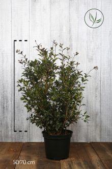 Schijnhulst 'heterophyllus' Pot 50-70 cm Extra kwaliteit
