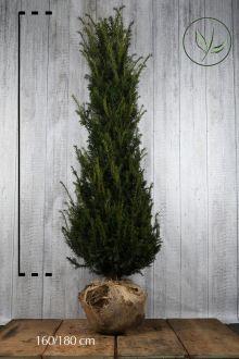 Taxus baccata Kluit 160-180 cm Extra kwaliteit